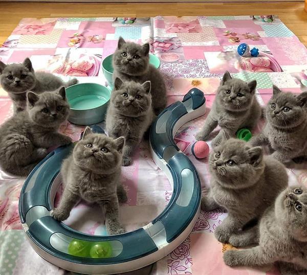 Grote foto 6 super knuffelige bsh kittens dieren en toebehoren raskatten korthaar