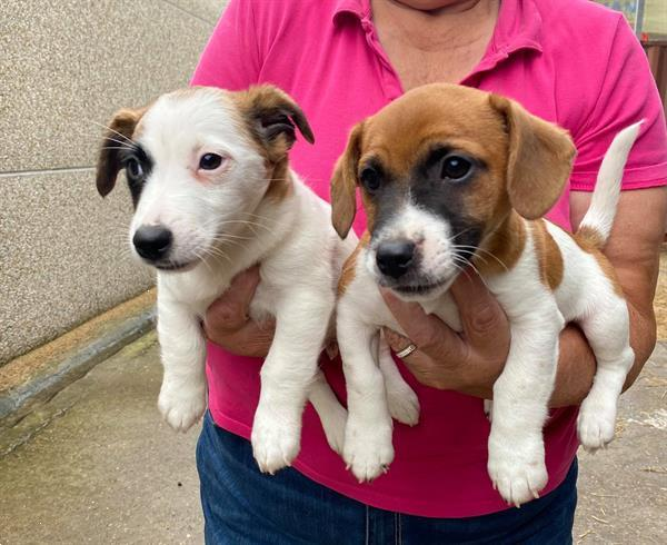 Grote foto jackrussel pups dieren en toebehoren jack russells en terri rs