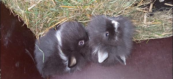 Grote foto 4 dwergkonijntjes leeuwenkopjes dieren en toebehoren konijnen