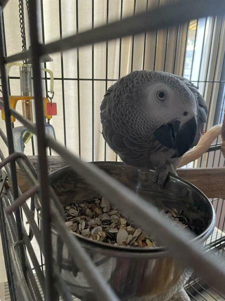 Grote foto grijs roodstaart dieren en toebehoren parkieten en papegaaien