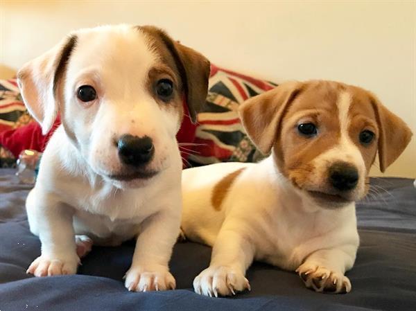 Grote foto male and female jack russell puppies dieren en toebehoren jack russells en terri rs