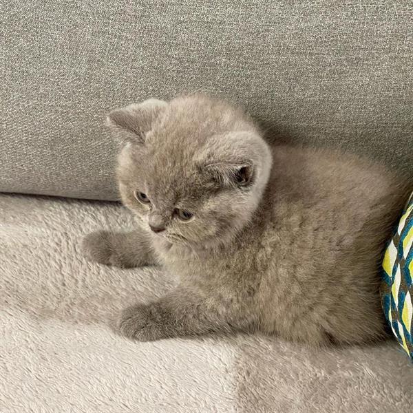 Grote foto britse korthaar kitten dieren en toebehoren raskatten korthaar