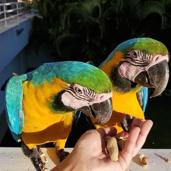Grote foto nieuwsgierig 5 blauw gouden ara dieren en toebehoren parkieten en papegaaien