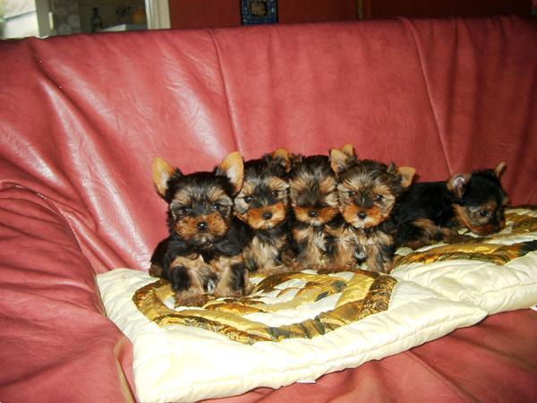 Grote foto lieve yorkshire pups bij echte hondenliefhebber dieren en toebehoren overige honden